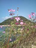 甲山とコスモス